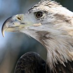 for-web-eagle-crop